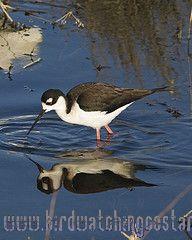 [:en]Bird Black-necked Stilt[:es]Ave Cigüeñuela Cuellinegra[:]