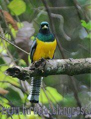 [:en]Bird Black-throated Trogon[:es]Ave Trogón Cabeciverde[:]