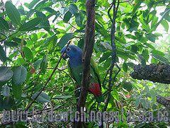 [:en]Bird Blue-headed Parrot[:es]Ave Loro Cabeciazul[:]