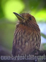 [:en]Bird White-wiskered Puffbird[:es]Ave Buco Barbón[:]
