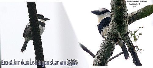 [:en]Bird White-necked Puffbird[:es]Ave Buco Collarejo[:]