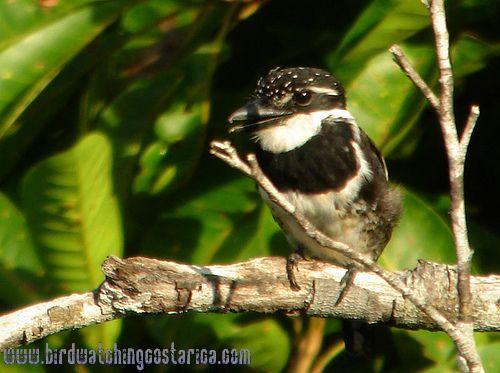[:en]Bird Pied Puffbird[:es]Ave Buco Pinto[:]