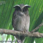 [:en]Bird Crested Owl[:es]Ave Buho Penachudo[:]