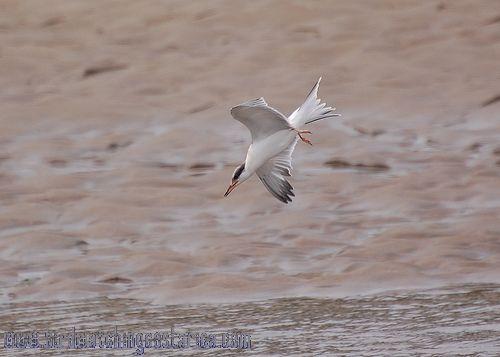 [:en]Bird Common Tern[:es]Ave Charrán Común[:]
