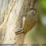 [:en]Bird Olivaceous Piculet[:es]Ave Carpinterillo Oliváceo, Telegrafista[:]