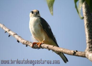 [:en]Bird Pearl Kite[:es]Ave Cernícaro[:]