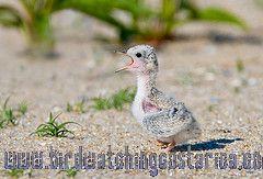 [:en]Bird Least Tern[:es]Ave Charrán Chico[:]