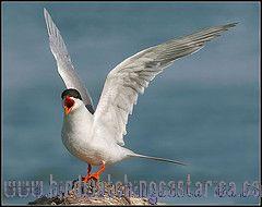 [:en]Bird Forster´s Tern[:es]Ave Charrán de Forster[:]