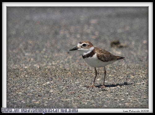 [:en]Bird Wilson´s Plover[:es]Ave Chorlitejo Picudo[:]