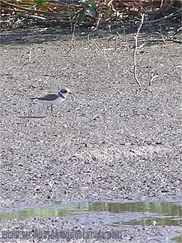 [:en]Bird Semipalmated Plover[:es]Ave Chorlitejo Semipalmado[:]