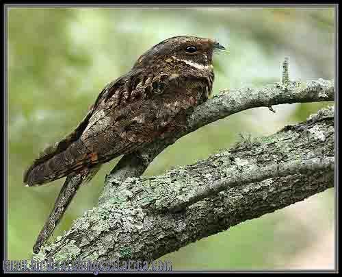 [:en]Bird Whip-poor-will[:es]Ave Chotacabras Gritón o Ruidoso[:]