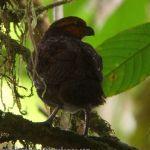 [:en]Bird Tawny-faced Quail[:es]Ave Codorniz Carirufa[:]