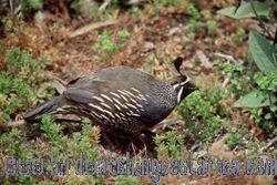 [:en]Bird Black-breasted Wood-Quail[:es]Ave Codorniz Pechinegra[:]