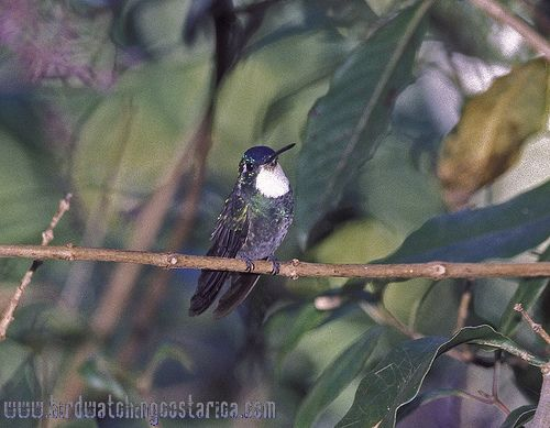 [:en]Bird White-throated Mountain-gem[:es]Ave Colibrí Montañés Coligris[:]