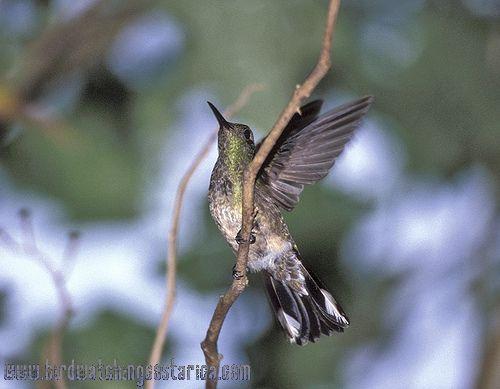 [:en]Bird Scaly-breasted Hummingbird[:es]Ave Colibrí Pechiescamado[:]