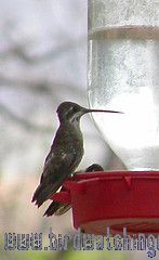 [:en]Bird Plain-capped Starthoat[:es]Ave Colibrí Pochotero[:]
