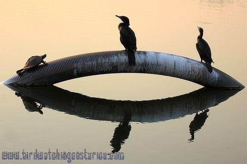 [:en]Bird Neotropic Cormorant[:es]Ave Cormorán Neotropical[:]