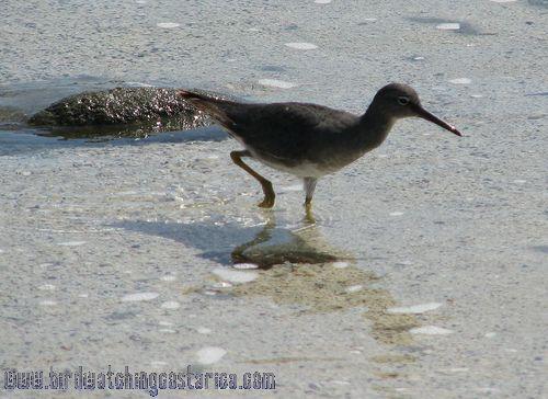 [:en]Bird Wandering Tattler[:es]Ave Correlimos Corremundo[:]