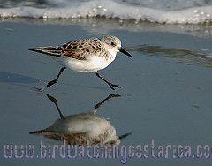 [:en]Bird Semipalmated Sandpiper[:es]Ave Correlimos Semipalmeado[:]