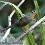 [:en]Bird Lesser Ground-Cuckoo[:es]Ave Cuclillo Sabanero[:]
