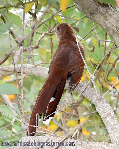 [:en]Bird Squirrel Cuckoo[:es]Ave Cuco Ardilla[:]