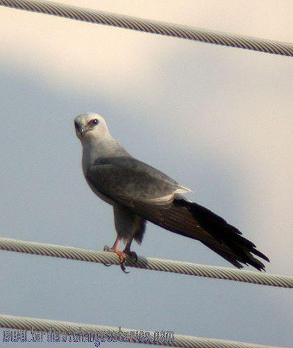 [:en]Bird Mississippi Kite[:es]Ave Elanio Colinegro[:]
