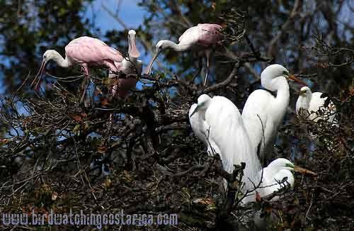 [:en]Bird Roseate Spoonbill[:es]Ave Espátula Rosada[:]