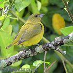 [:en]Bird Thick-billed Euphonia[:es]Ave Eufonia Piquigruesa[:]