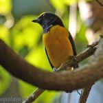 [:en]Bird Spot-crowned Euphonia[:es]Ave Eufonia Vientrirrojoza[:]