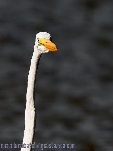 [:en]Bird Great Egret[:es]Ave Garceta Grande[:]