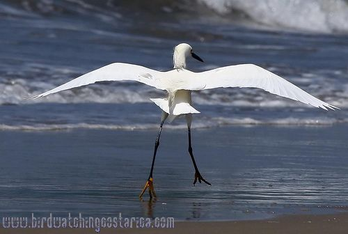 [:en]Bird Snowy Egret[:es]Ave Garceta Nivosa[:]