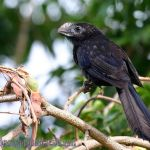 [:en]Bird Smooth-billed Ani[:es]Ave Garrapatero Piquiliso[:]