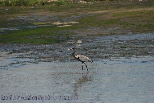 [:en]Bird Great Blue Heron[:es]Ave Garzón Azulado[:]