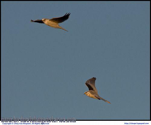[:en]Bird White-tailed Kite[:es]Ave Gavilán Bailarín[:]