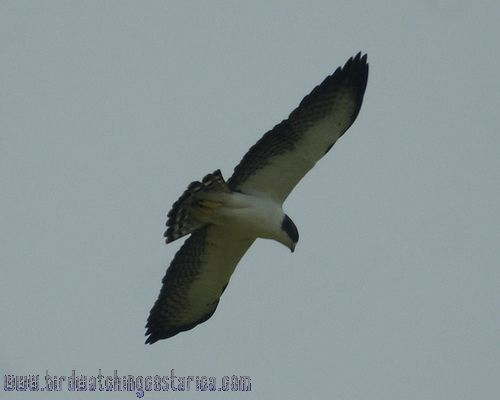 [:en]Bird Short-tailed Kite[:es]Ave Gavilán Colicorto[:]