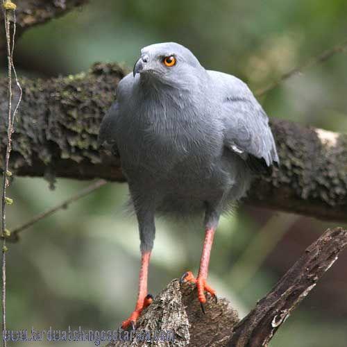 [:en]Bird Crane hawk[:es]Ave Gavilán Ranero[:]