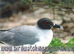 [:en]Bird Swallow-tailed Gull[:es]Ave Gaviota Tijereta[:]