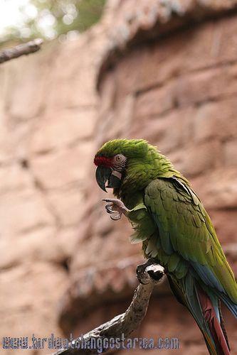 [:en]Bird Great Green Macaw[:es]Ave Guacamayo Verde Mayor, Lapa Verde[:]