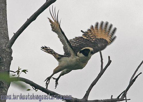 [:en]Bird Laughing Falcon[:es]Ave Guaco[:]