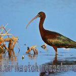[:en]Bird Glossy Ibis[:es]Ave Ibis Morito[:]