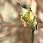 [:en]Bird Rufous-tailed Jacamar[:es]Ave Jacamar Rabirrufo[:]