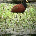 [:en]Bird Northern Jacana[:es]Ave Jacana Centroamericana[:]