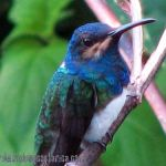 [:en]Bird White-necked Jacobin[:es]Ave Jacobino Nuquiblanco[:]