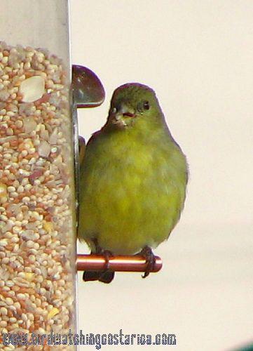 [:en]Bird Lersser Goldfinch[:es]Ave Jilguero Menor[:]