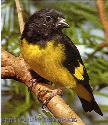 [:en]Bird Yellow-bellied Siskin[:es]Ave Jilguero Vientriamarillo[:]