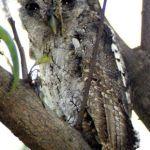[:en]Bird Pacific Screech-Owl[:es]Ave Lechucita Sabanera[:]