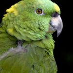[:en]Bird Yellow-naped Parrot[:es]Ave Lora de Nuca Amarilla[:]