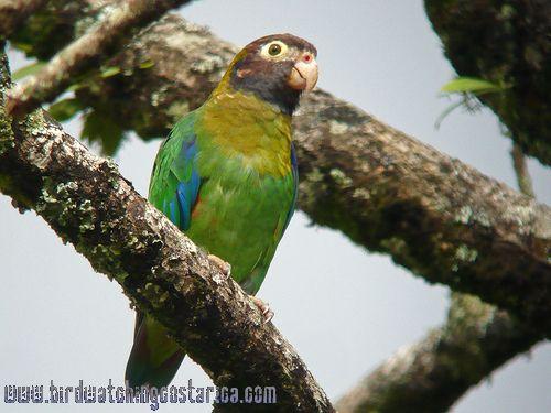 [:en]Bird Brown-hooded Parrot[:es]Ave Loro Cabecipardo[:]