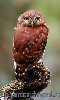 [:en]Bird Central American Pygmy-Owl[:es]Ave Mochuelo Centroamericano[:]