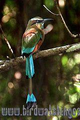 [:en]Bird Turquoise-browed Motmot[:es]Ave Momoto Cejiceleste[:]